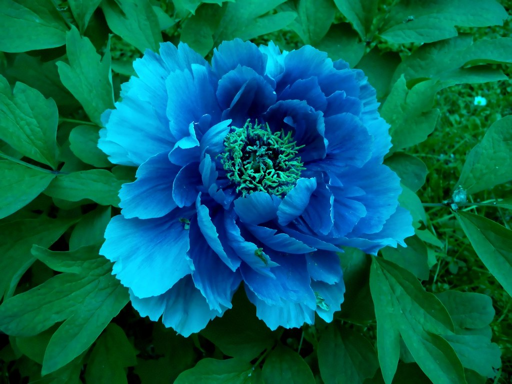Peonies Peonia Blu Blue Peony J Amp Konrad Flickr