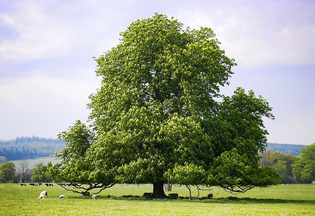Horse Chestnut Tree I Love Horse Chestnut Trees In