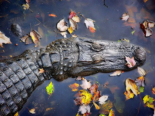 gator | by L Galloway2011