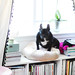 French Bulldog  in the window + curtains with tassels + office