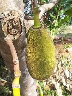 Giant jackfruit | by TravelSara.com