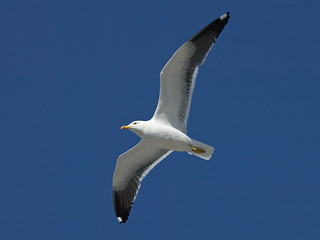 Lesser Black-backed Gull | by Frode Falkenberg
