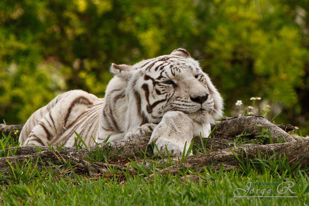 Happy Tiger The Existence Of Pure White Siberian Tigers