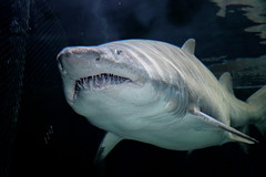 A Sand tiger shark lurks in the Open Oceans exhibit