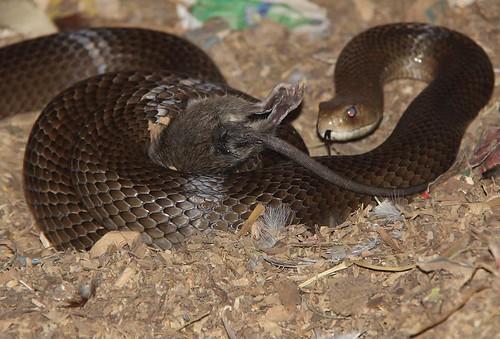 snake eating rat 5 Flickr Photo Sharing