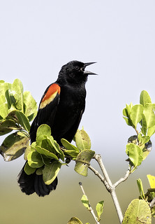 Red-winged Blackbird | by Steve Russell Photography