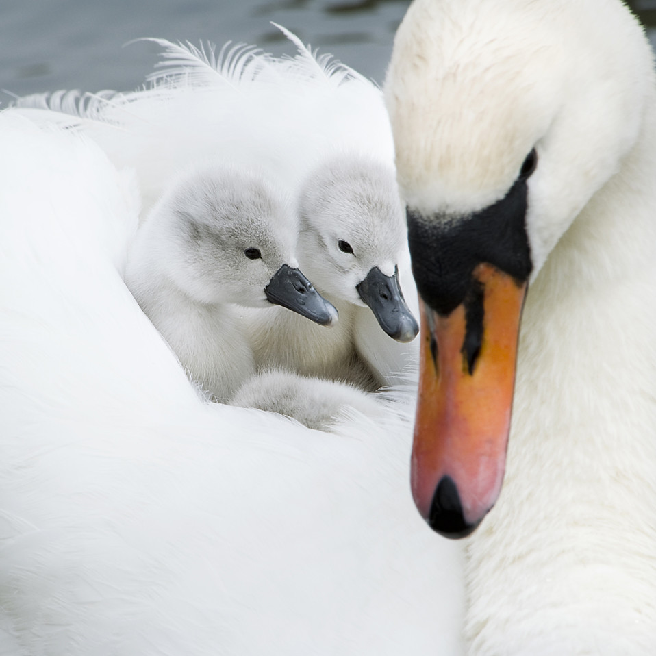 Just the Two of Us - swans - by Jacky Parker