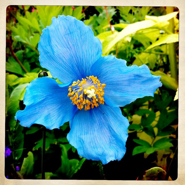 Is Meconopsis The Most Beautiful Flower Ever Flickr