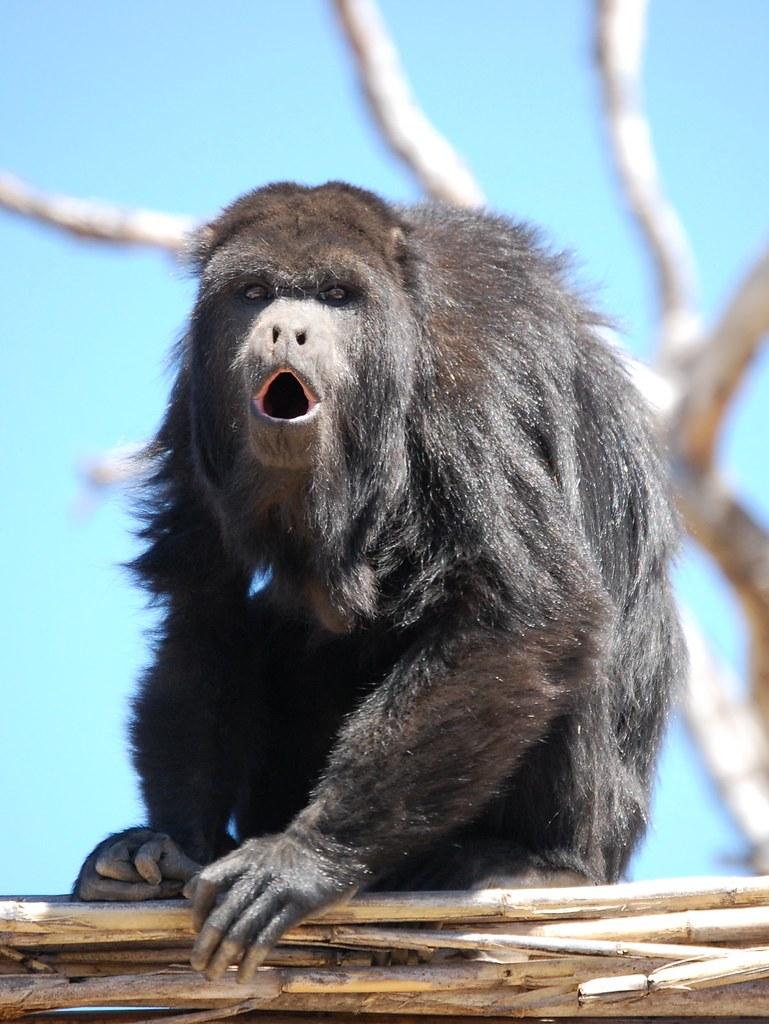 Monkey Making Noise Howler Monkey Making The