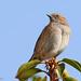 Dunnock aka Hedge Sparrow