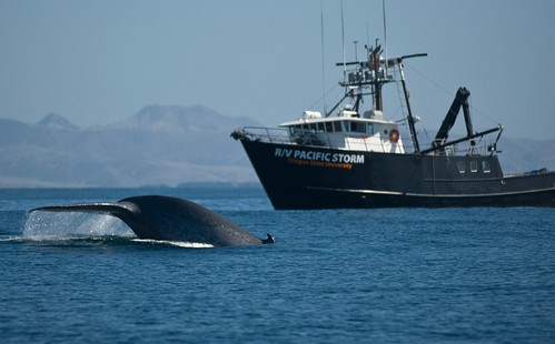 Tagging blue whales | by Oregon State University
