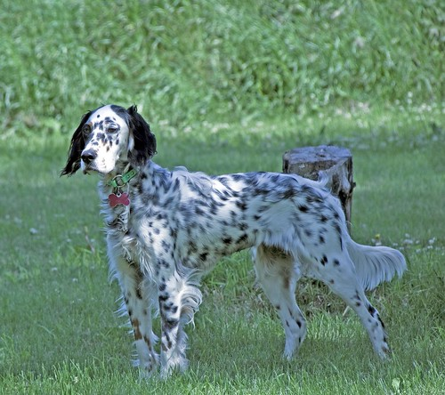 2011 06 25_Heartland Setters_3964_Catelyn-1.jpg | by Heartland Setters