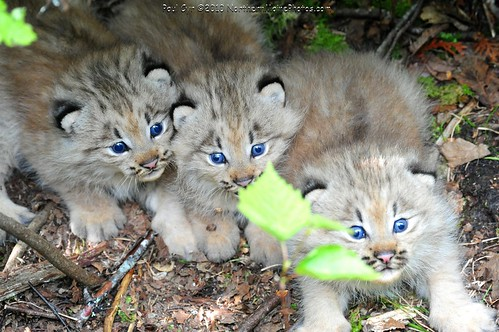 Canada Lynx Cubs Flickr Photo Sharing