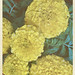 Marigold tall ( Hundred Leafed Flower)