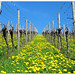 Dandelion in the Vineyard