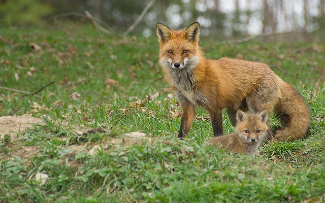 red fox and cubs-31Red Fox Cubs