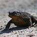 Common toad on the Path