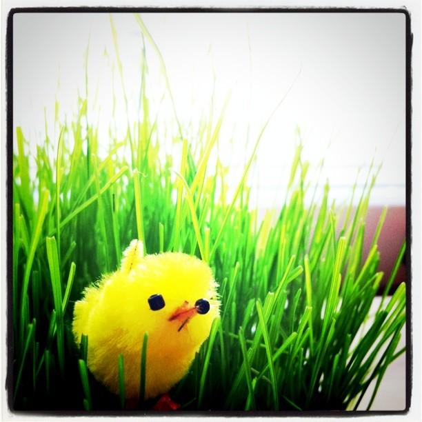 Lolium con pollito