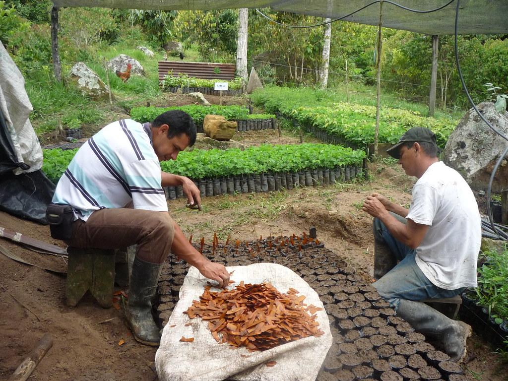 Siembra de semillas vivero mata de cacao 1 rna pauxi pau for Matas de viveros