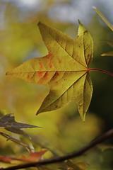 Yellow Leaf by FireBirder
