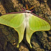 Actias artemis, Japanese Luna Moth, オオミズアオ