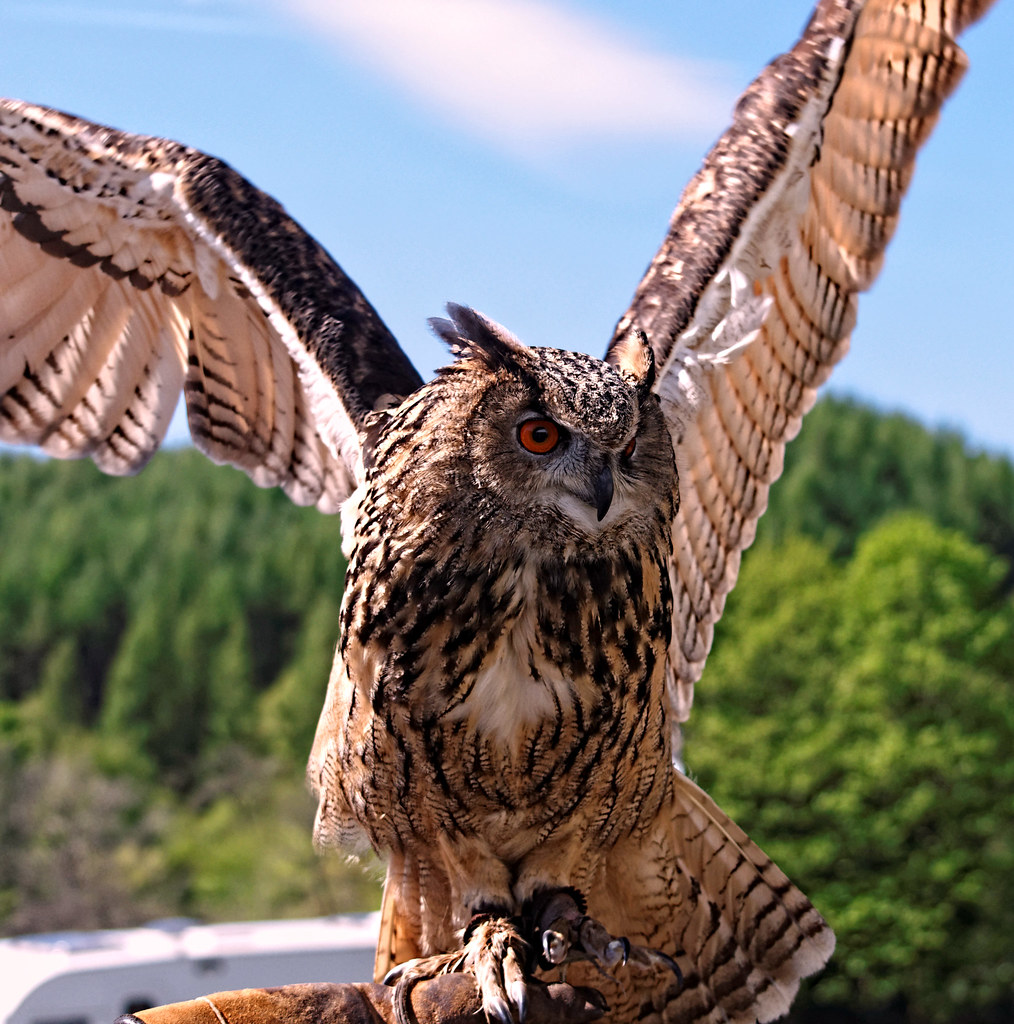 Eagle Owl Wings Spread Eagle Owl Graham Hill Flickr