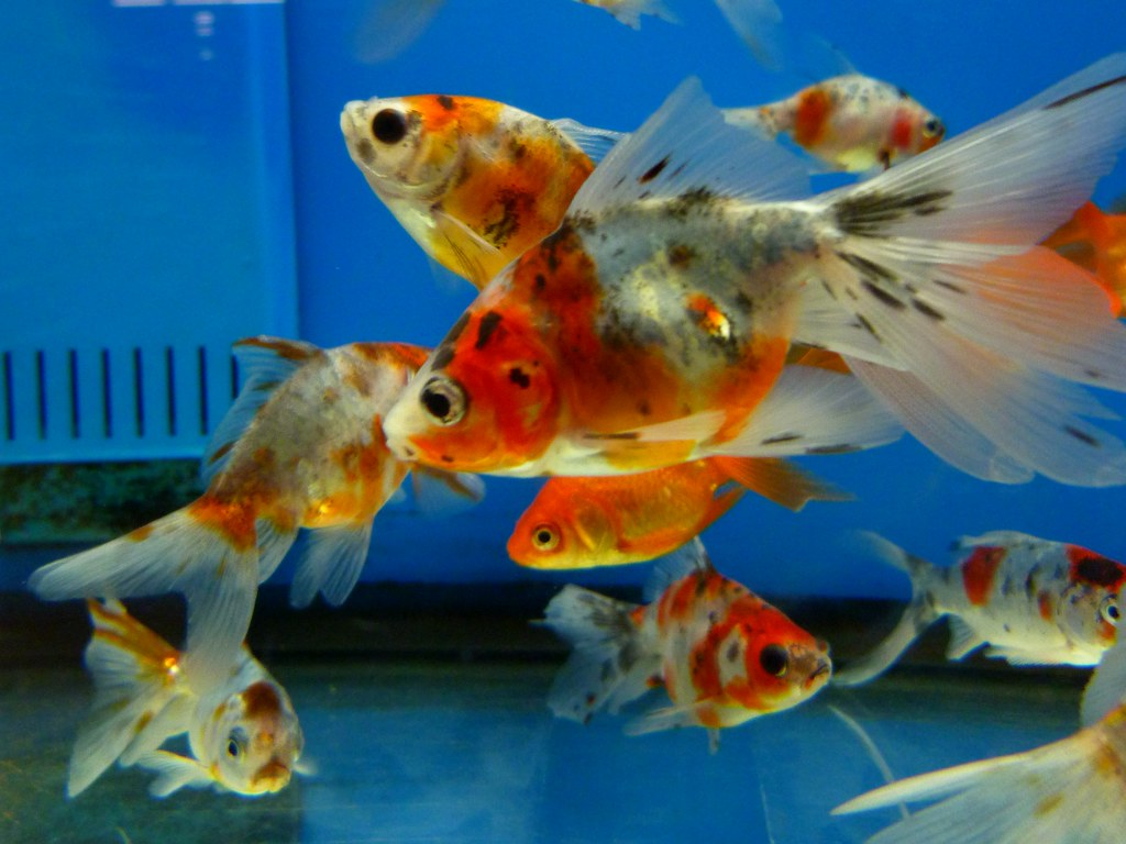 Image gallery walmart goldfish for Fish tape walmart