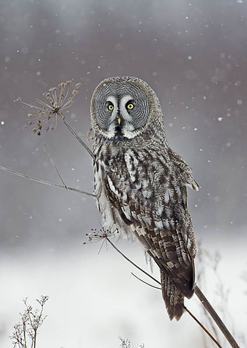 Great Grey Owl Strix nebulosa | by Finnature Bird Photography - Nature Photography