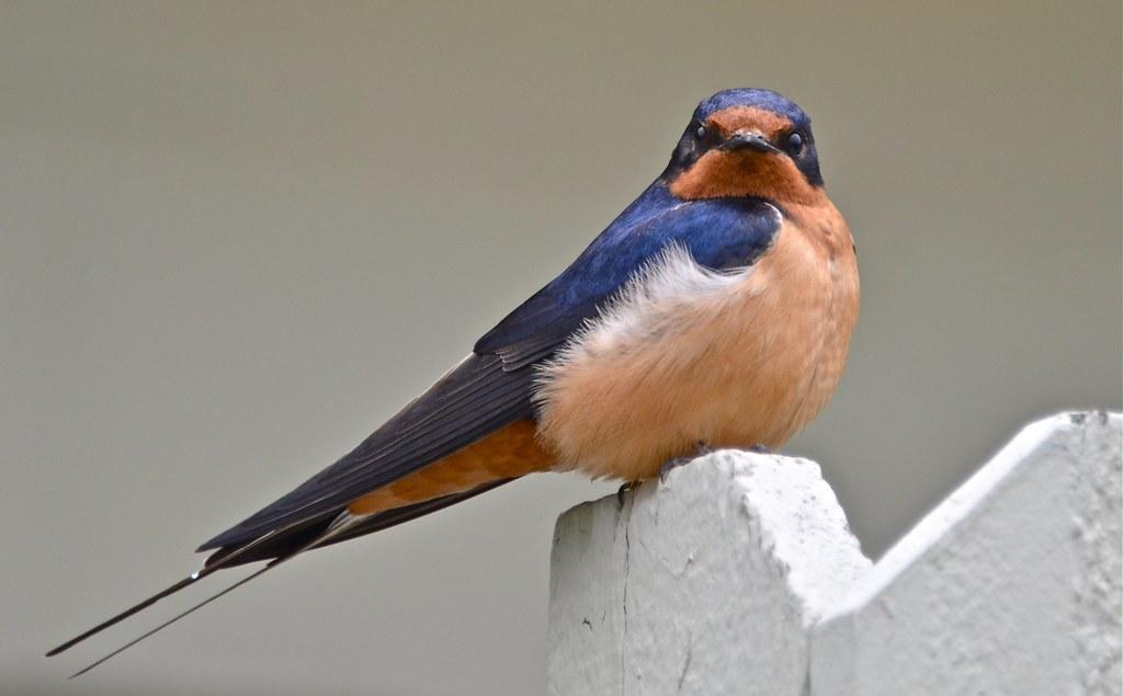 Barn Swallow A Pair Of Barn Swallows Hang Out At The