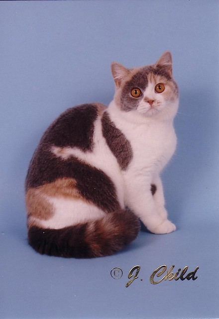 Cat Breed Dilute Calico
