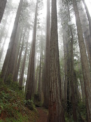 Redwood Forest by Rebecca White 687