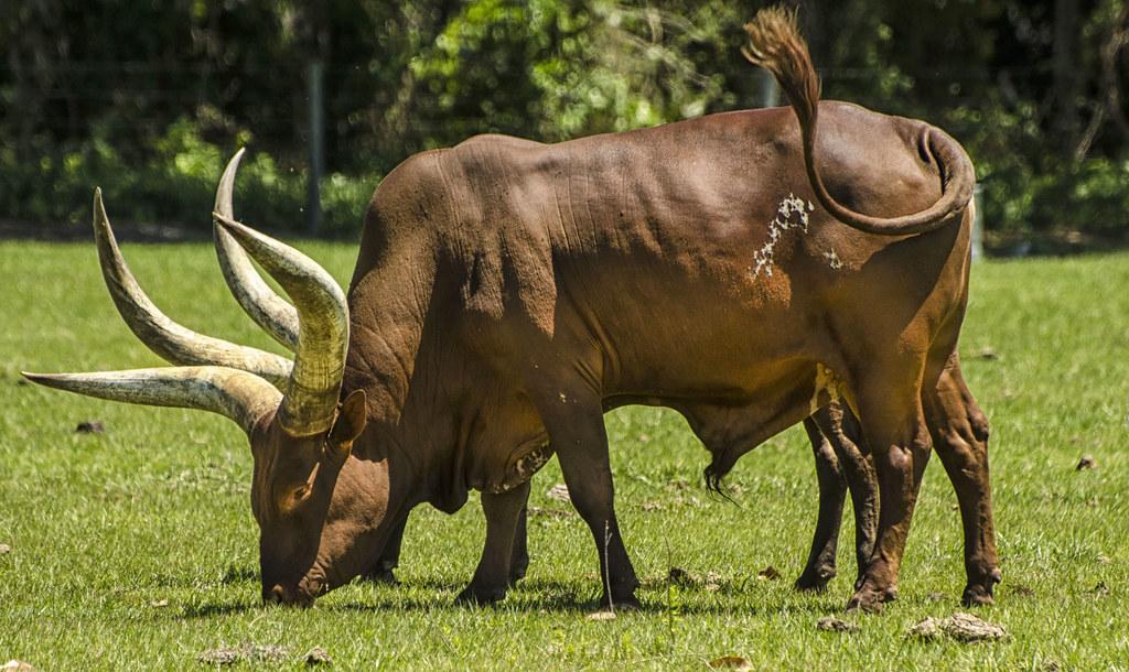 ankole watusi