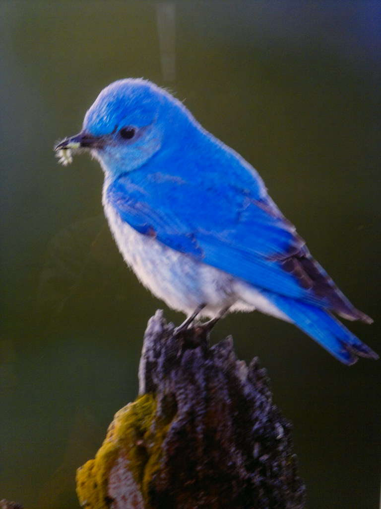 Amazing blue mountain bird photo from feast by brad hill h Pictures of birds