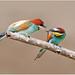 Gruccione / Merops apiaster      (lo scambio)