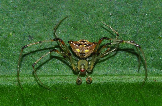 Pirate Spider Male pirate spider (mimetidae)