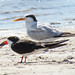 Royal Tern and Black Skimmer
