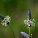 Plantago lanceolata (Plantaginaceae); English plantain