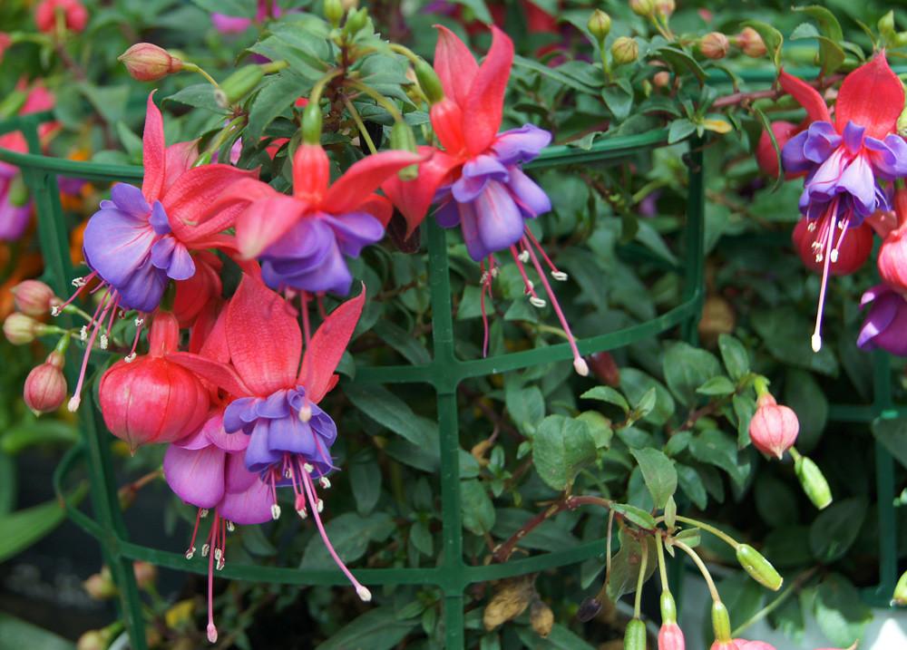 Flores de fuchsia el centro de jardiner a en valencia - Jardineria villanueva valencia ...