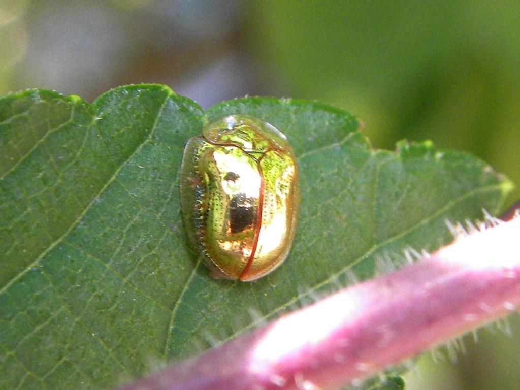 japanese beetles in house  asian ladybug