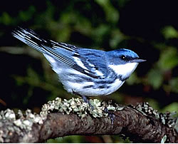 Image of male Cerulean Warbler, CERW