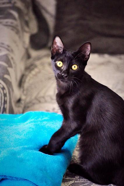 Selva, gatita Pantera guapa, estilizada y divertida esterilizada, nacida en Mayo´16, en adopción. Valencia. ADOPTADA. 29727647980_ecc9c84695_z