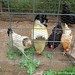 Whitey the Chicken snubs her beak at freshly picked organic kale 1
