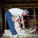 Sheep shearing on the farm, Ottawa