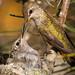 Anna's Hummingbird feeding baby