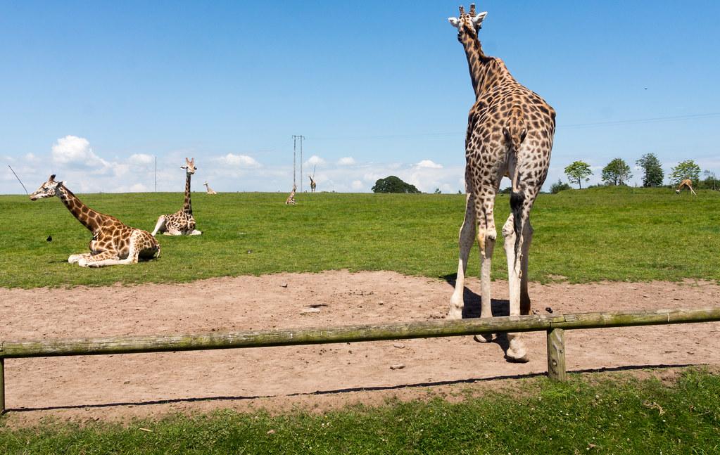 Giraffes  Disney Animals  Walt Disney World Resort