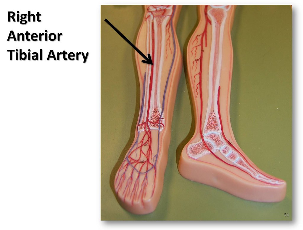 Right anterior tibial artery - The Anatomy of the Arteries… | Flickr