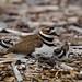 Sleepy Killdeer chicks returning to mom for a nap (Charadrius vociferus) 5406