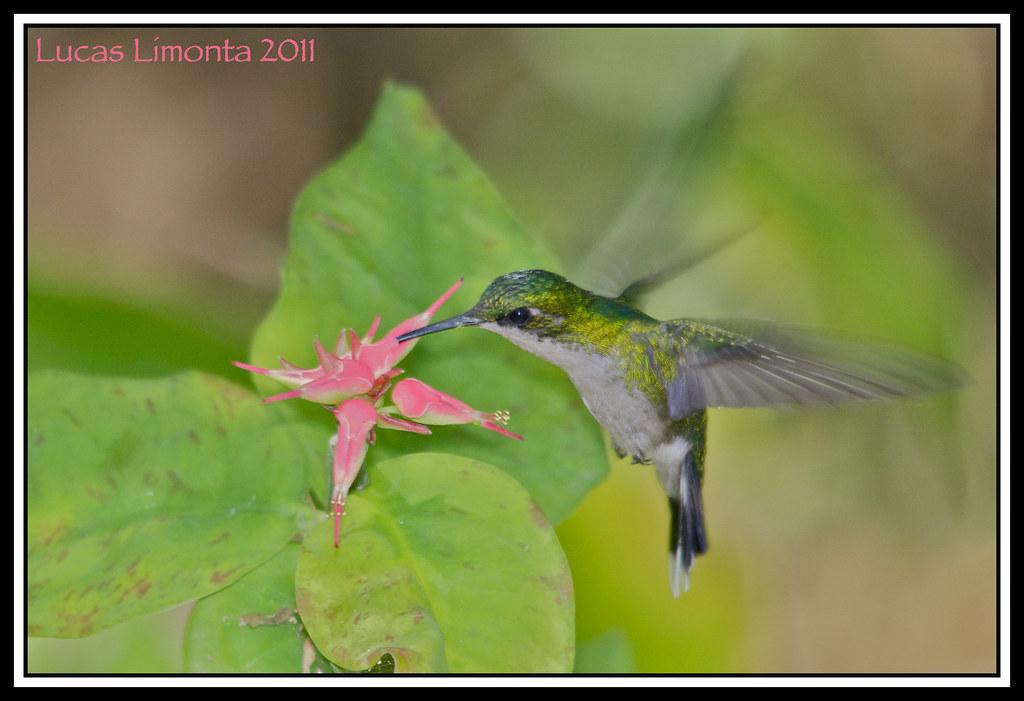 Name Puertorriqueno: Puerto Rican Emerald (Chlorostilbon Maugeaus) ♀