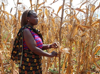 Tanzanian farmer with drought-affected maize | by CIMMYT