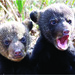 LA Black Bear Cubs